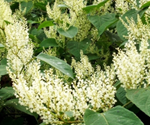 Japanese, Giant, and Bohemian knotweed
