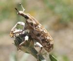 Diffuse knapweed biocontrol