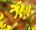 Elongated mustard