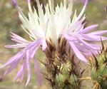 Hybrid knapweed
