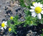 Mayweed chamomile