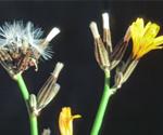 Rush skeletonweed