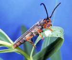 Leafy spurge biocontrol