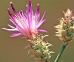 Squarrose knapweed
