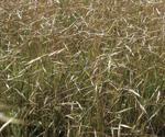 Ventenata grass