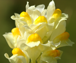 Yellow hybrid toadflax